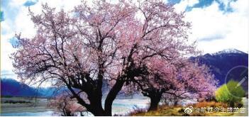 移植桃花树秘诀