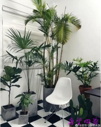 风水改运植物介绍–散尾葵