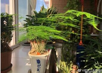 风水改运植物介绍–文竹