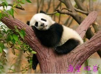 熊猫世界待五百多年变懒散昏睡